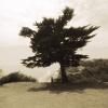 Wilcox Tree